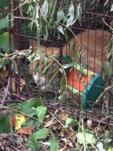 Butterscotch after his capture, with the contraption beside him. (Brandon and Area Lost Animals, Facebook)