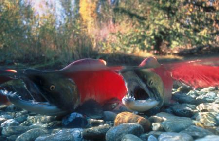 Adams River sockeye. (B.C. Parks photo)