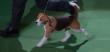 Miss P. strutting her stuff. (Screen shot, Westminster Dog Show)