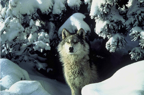 A gray wolf. (Image credit Tracy Brooks Tracy/ U.S. Fish and Wildlife Service).