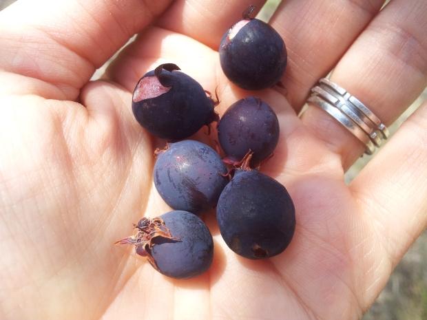 Ginta-berries
