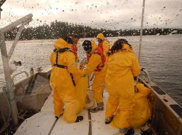 Heiltsuk crews gather absorbent materials at Bella Bella spill. (Heiltsuk Nation photo)