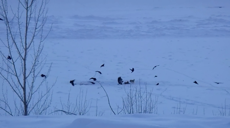 Morning on the river. A coyote fends off ravens and eagles from deer carcass. (Screengrab Mel Rothenburger)